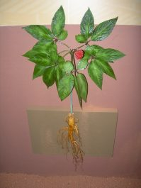 Plant de ginseng agé de 6 ans