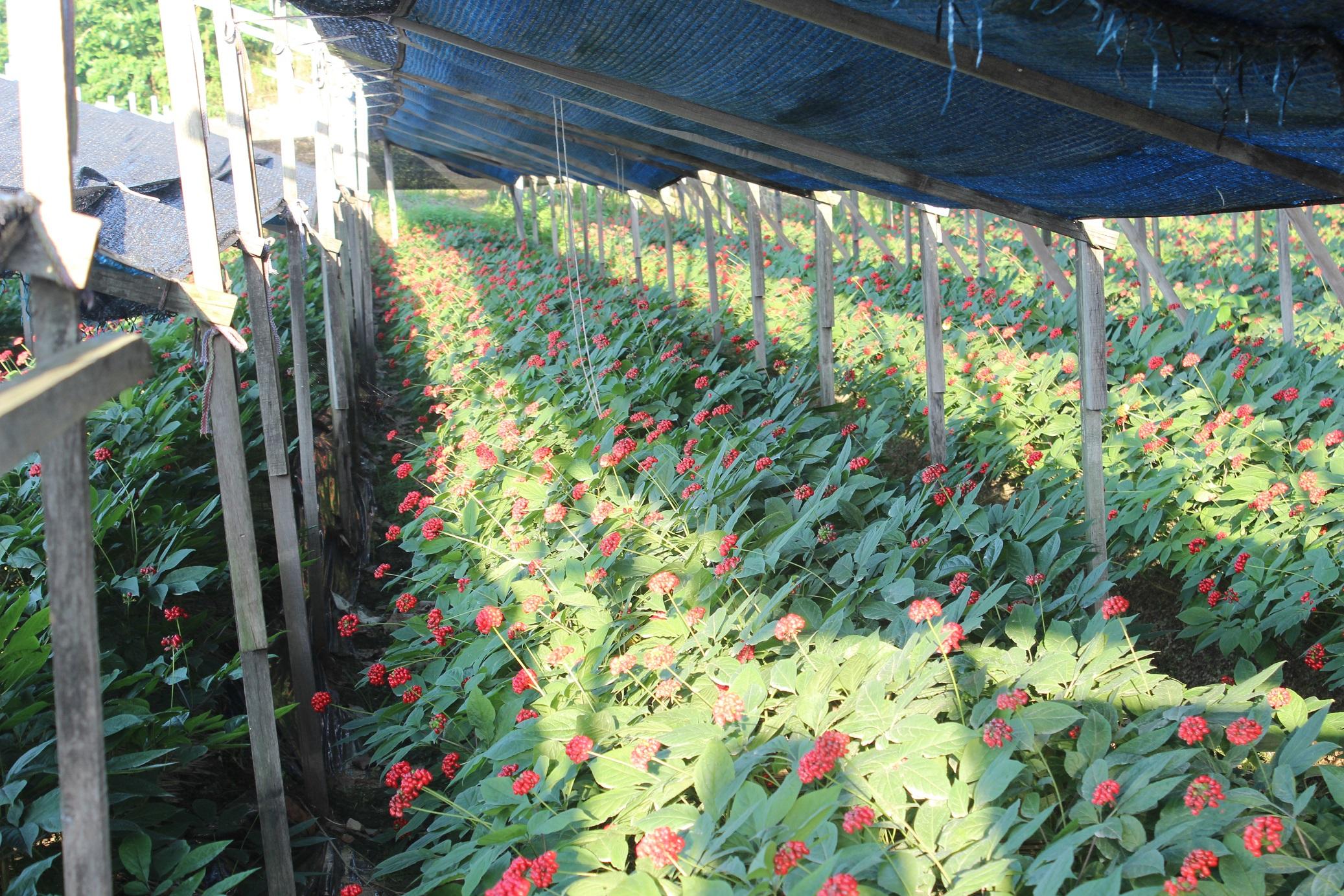 Le Ginseng Coréen, source de bien être et de vitalité